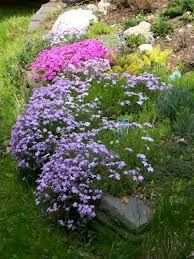 Phlox stolonifera ('Sherwood Purple' ~ Creeping Phlox)  Mat forming habit with masses of star-like, clear purple flowers with deep green, foliage. A beautifully vibrant groundcover that will bring excitement to the shady or woodland garden.
