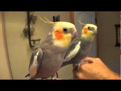 "Talking Cockatiel ""Pretty Bird"" Conversation - YouTube"