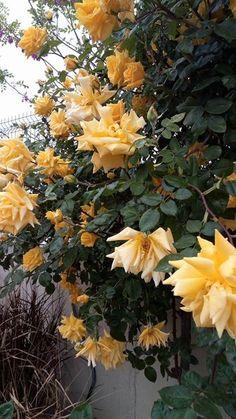 Ve işte Nisan başı oldu mu bir yılın sabrıyla coşkulu serpilerek açılan Sarı Sarmaşık gülüm çite dayanmış sanki bayram yapıyor