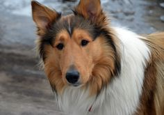 awesome Have A Happy Puppy Or Dog With These Ideas. Rough Collie, Scotch Collie, Happy Puppy, Sheltie, Livestock, Corgi, Puppies, Pets, Animals