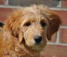 Abby the GoldenDoodle is an adoptable Golden Retriever Dog in Newark, DE. **this dog is a courtesy posting, if you are interested in this dog, please apply online at www.spankysproject.com*** Abby is ...