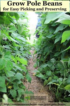 Grow Pole Beans for Easy Picking and Preserving