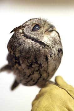 Blind Screech Owl . . . So sad he is blind. So adorable . . .