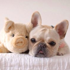 French Bulldog and his 'Piggy'.