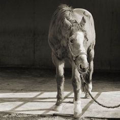 Old animal - Handsome One, horse, 33 years old...