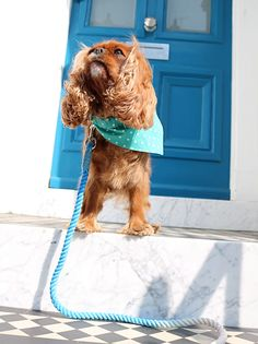 Cavalier king charles spaniel outside white and blue doorway in London wearing herky the cavalier