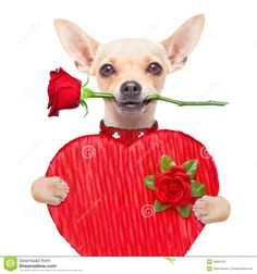 Chihuahua Valentineu0027s Day Gif | Valentines Dog Stock Photo   Image: 49065781