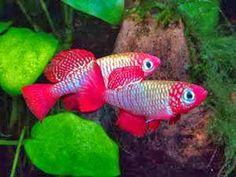 Killifish ~ Fishes World Betta Aquarium, Tropical Fish Aquarium, Betta Fish Tank, Discus Fish, Fish Ocean, Fish Tanks, Tropical Freshwater Fish, Freshwater Aquarium Fish, Aquascaping