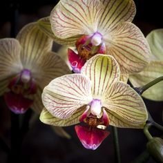 Yellow and Pink Orchids