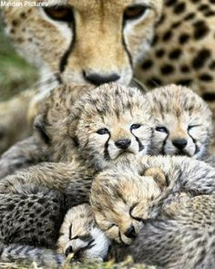 cheetah with its cubs