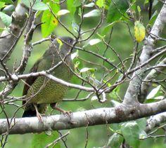 Bird Photos, Birding Sites, Bird Information: FEMALE SATIN BOWERBIRD, HACKING RIVER, ROYAL NATIO...