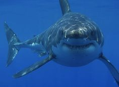 On this page you'll find a great collection of shark pictures and shark facts. I have included the great white shark, the tiger shark, the whale. The Great White, Great White Shark, Shark Week, Orcas, Sharks With Human Teeth, Shark Facts, Megalodon, Tier Fotos, Mundo Animal