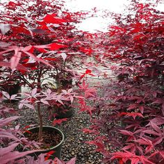 Even though Arbor Day was last Friday planting a tree today tomorrow or the day after makes an impact. (Shown: Emperor I Japanese Maple zones Spring Blooming Trees, Monrovia Nursery, Monrovia Plants, Arbour Day, Plant Catalogs, Acer Palmatum, Japanese Maple, Planting, Gardening