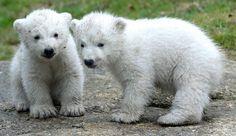 polar bear cubs | ... Cuteness: Munich Zoo's Polar Bear Twin Cubs Refute Marxist Idiocy