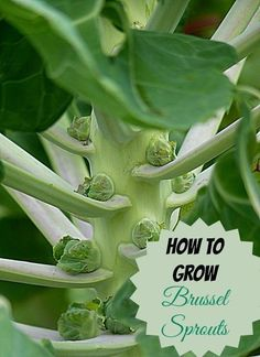 Brussel sprouts are a cold weather crop and can be planted now for late fall gardens. Find out how to grow them: http://thegardeningcook.com/brussel-sprouts/