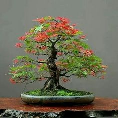 BONSAI More At FOSTERGINGER @ Pinterest