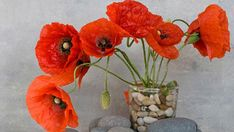 How to grow poppies in winter