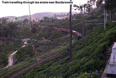 Train passing through estate in Bandarawela, Sri Lanka.