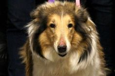 Adopt Aqua, a lovely 7 years  10 months Dog available for adoption at Petango.com.  Aqua is a Collie, Smooth and is available at the National Mill Dog Rescue in Colorado Springs, CO.  www.milldogrescue.org   #adoptyourfriendtoday  #puppymilldog