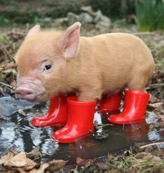 tea cup pig.  hes wearing little boots!!!