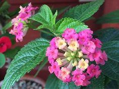 란타나 오묘한 색변화 (맹독성 식물이니 주의)
