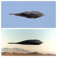 Nature-inspired design aka 'Biomimicry'  Bird = Common Buzzard Plane = Northrop Grumman B-2 Spirit