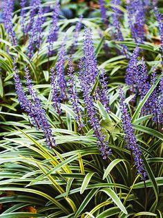 Pretty Lilyturf is an easy-to-grow shade plant. More perennials for shade: http://www.bhg.com/gardening/flowers/perennials/the-best-perennials-for-shade/?socsrc=bhgpin060412#page=1