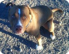 Georgetown, CO - American Pit Bull Terrier/Chesapeake Bay Retriever Mix. Meet Buddy, a dog for adoption. http://www.adoptapet.com/pet/6294865-georgetown-colorado-american-pit-bull-terrier-mix