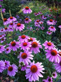 Purple cone flowers - blooms provide a bright spot at the end of summer.