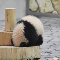 pandacraft tour eiffel cute zombie panda panda dataframe without index Baby Animals Super Cute, Cute Little Animals, Cute Funny Animals, Baby Elephant Images, Cute Zombie, Baby Panda Bears, Baby Pandas, Cute Panda Wallpaper, Panda Wallpapers
