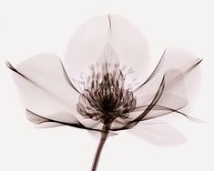 Helleborus X-ray / by Coopr / 2011-2014 / via deviantart