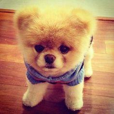 cute / dog / boo / cachorro A Healthy Dog is a Happy Dog / www.PetWellbeing.org