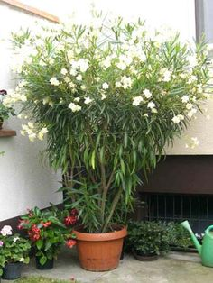 Gardening Plant Tips - oleander- lovely but fatal if leaves are ingested, esp by children and animals.leaves and bark poison so wash hands after planting!