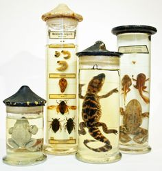 I love the study of animal specimens in jars because it gives us a great outlook into the growth of animals. Although some may find it disturbing, I can't help but be interested by the study of growth. It is almost like pausing a creature's life in time so we are able to do extreme research into it.