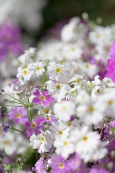 Primula malacoides - 桜草