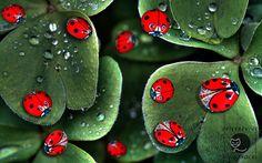 Ladybugs, hand painted pebbles by Ernestina Gallina