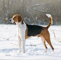 American Fox Hound dog photo | American Foxhound