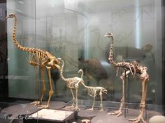 Moa Skeletons, From left to right: South Island Giant Moa (Diornis robustus), Upland Moa (Megalapteryx didinus), Mantell's Moa (Pachyonis geranolds), Heavy-Footed Moa (Pachyornis elephantopus). Auckland Museum, New Zealand