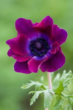 Anemone coronosa: sunny, well drained soil, plant where/when it will get no frost; Learn how to plant and grow Anemone bulbs inside and outdoors, as well as which varieties to choose and how to cut them for a vase. Amazing Flowers, My Flower, Purple Flowers, Beautiful Flowers, Anemone Flower, Exotic Flowers, Yellow Roses, Beautiful Babies, Purple Poppies