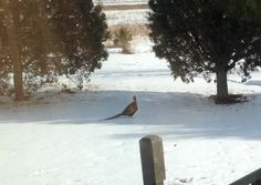 Pheasants travel through the front yard. All are welcome.