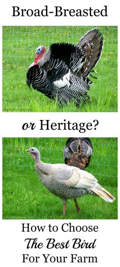 How to Choose the Best Turkey for Your Farm: Broad or Heritage Breeds Which meat bird better suits your land and needs? Learn the differences between Broad and Heritage breeds! Raising Farm Animals, Raising Chickens, Meat Chickens Breeds, Keeping Chickens, Backyard Birds, Chickens Backyard, Turkey Breeds, Turkey Farm, Best Turkey