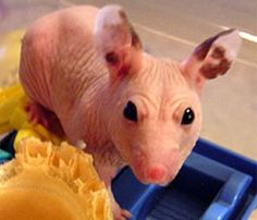 1000 images about hairless critters are cute on pinterest