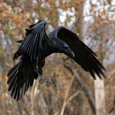 Raven Wings, Raven Bird, Raven Totem, Crow Flying, Rabe Tattoo, Crows Ravens, Viking Tattoos, Bird Pictures, Spirit Animal