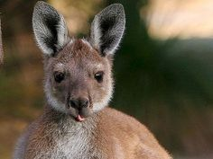 While motorists in Australia are familiar with warnings about wallabies, the people of Gloucestershire in England are now being asked to keep their eyes peeled for the creatures.