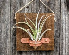 Hanging Wood Air Plant Plaque with Copper Holder and Large Air Plant included, Perfect Gift!
