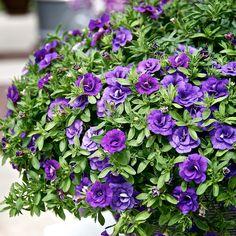 5 Gorgeous Flowering Container Garden Plants that Love Sun: Calibrachoa or Million Bells