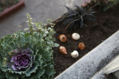 How does your garden grow? Ornamental Kale and Pink Tulip Bulbs in Window Box Ornamental Kale, Tulip Bulbs, Growing Gardens, Spring Bulbs, Home Landscaping, Spring Sign, Planting Bulbs, Pink Tulips, Raised Garden Beds