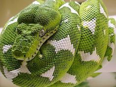 Photography Blog: Beautiful Green Emerald Tree Boa Snake