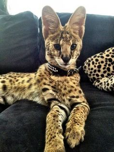 A Savannah cat is a cross between a domestic cat and a serval, a medium-sized, large-eared wild African cat. Pretty Cats, Beautiful Cats, Animals Beautiful, Pretty Kitty, Cute Kittens, Cats And Kittens, Cats Meowing, Funny Animals, Cute Animals