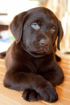 love the expression in this little Labrador's face....and his blue eyes! What a peaceful puppy